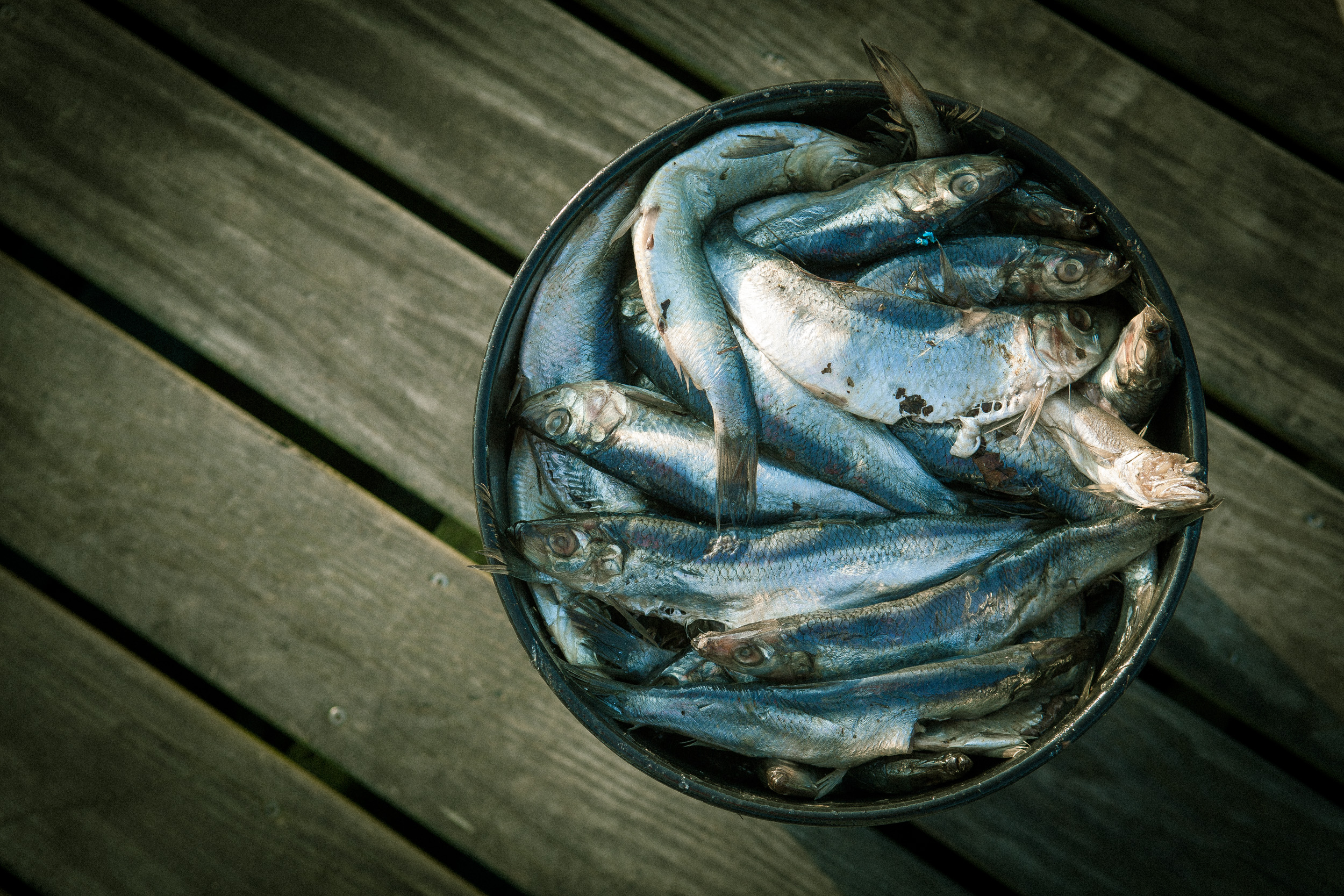 fish in bucket, Maine, shot by Steven P. Widoff