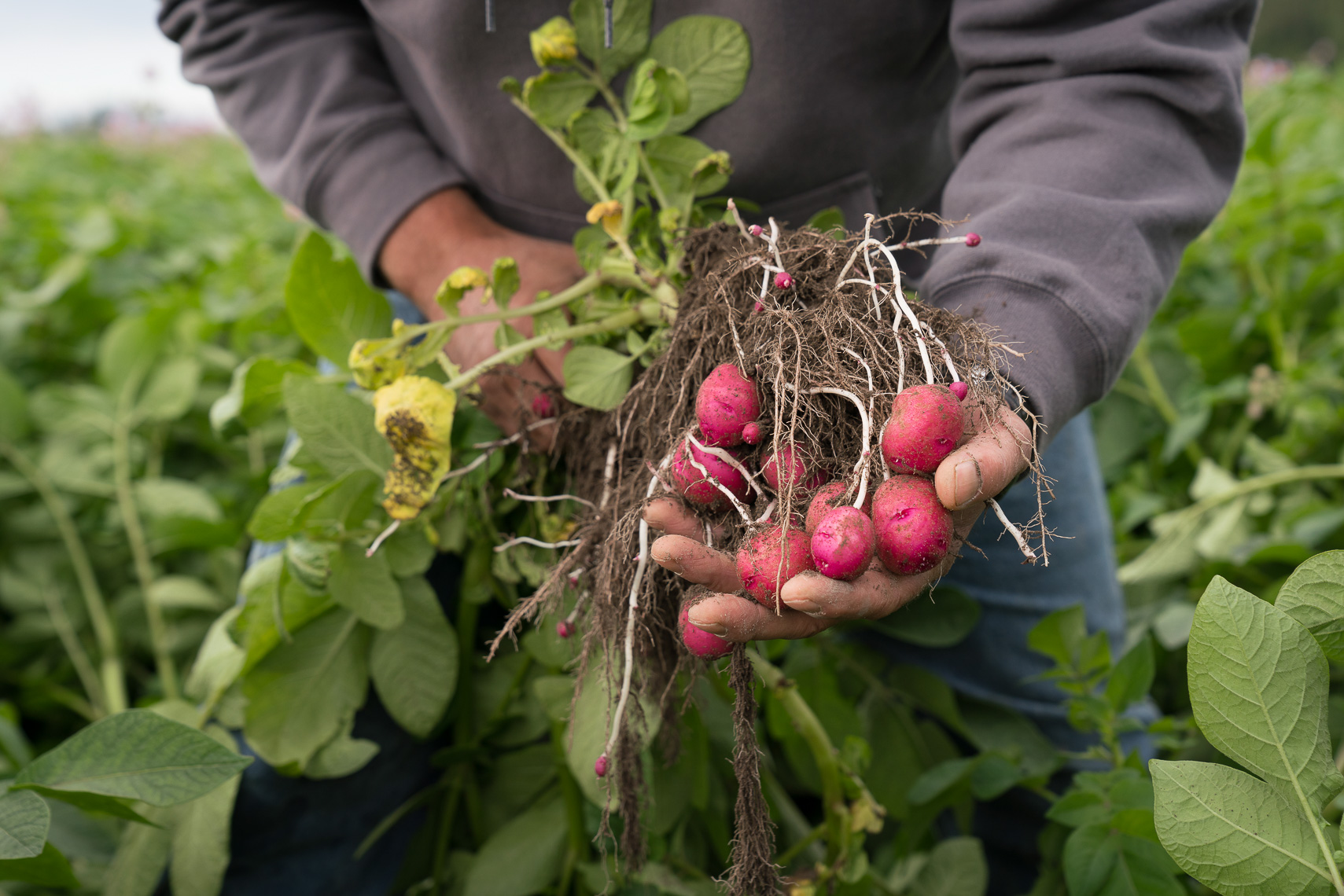 red potatoes held in the field